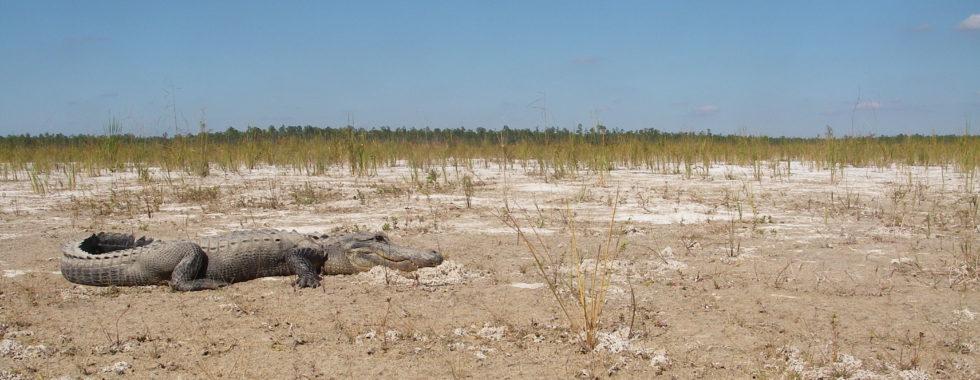 alligator in drought